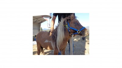 One of the miniature horses to be auctioned